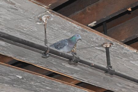 A solitary pigeon roosts  on a pipe of a water sprinkler system in the attic of an old warehouse. Banque d'images