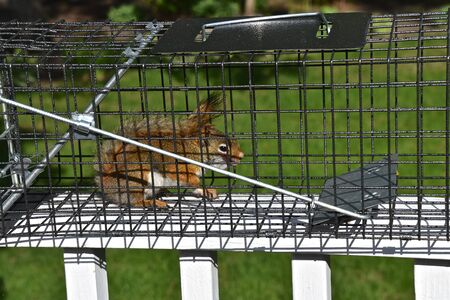 A  pesty red squirrel is captured in a metal live cage 스톡 콘텐츠