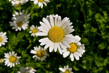 A beautiful garden of daisies are in full summer bloom. 版權商用圖片