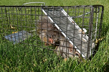 A gray squirrel is captured in a metal live cage and is struggling to escape.