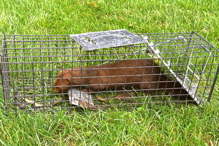 A wild mink is captured in a metal live trap