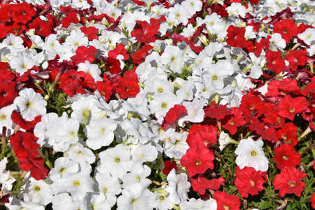 A flower bed of petunias are intermingled in only red and white colors. 免版税图像