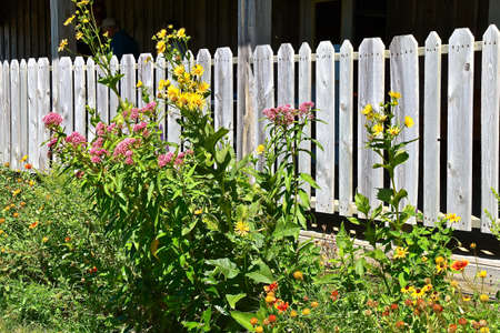 Miniature sunflower plants are used as a decorative flower against a weathered wood picket fence. 免版税图像