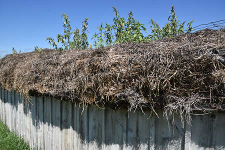 A thatched chicken house and barn roof has tree sprouts growing. 免版税图像