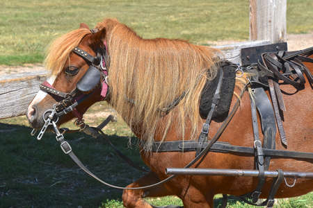 A bridled and reined pony is ready to pull a two wheeled buggy.