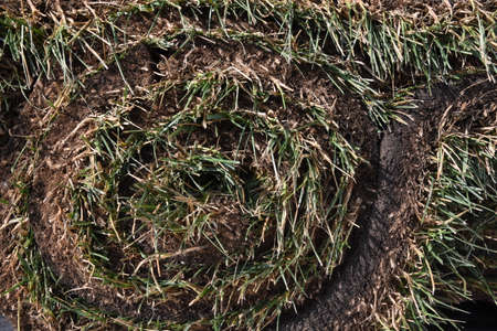 A closeup of a roll of fresh sod ready to be unrolled.