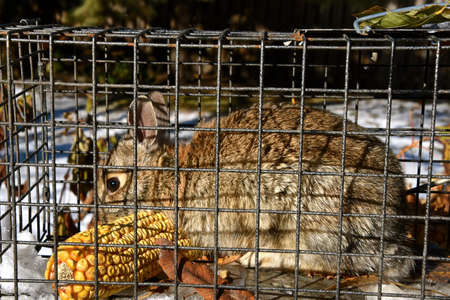 A cottontail rabbit is captured in a live trap.