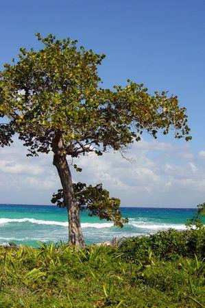 Arbre solitaire sur la Riviera Maya, Mexique