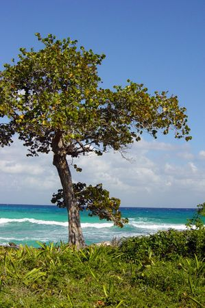 Solitary Tree on the Mayan Riviera, Mexico