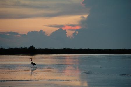 Ibis blanc sur Tigertail Plage au coucher du soleil, Marco Island, FL