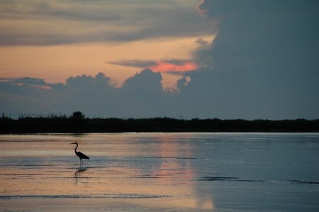 the gulf: White Ibis on Tigertail Beach at Sunset, Marco Island, FL