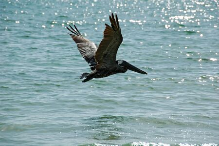 Pelican flying away on Tiger Tail Beach, Marco Island, FL