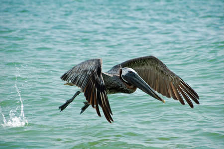 Pelican Taking Flight on Tiger Tail Beach, Marco Island, FL Stock Photo