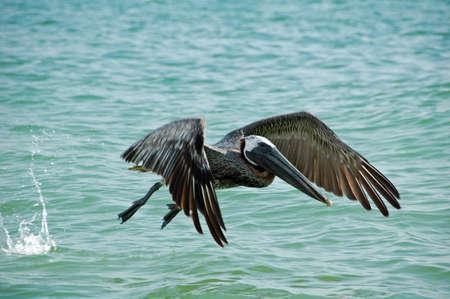 Pelican Taking Flight sur la queue du tigre plage, Marco Island, FL  Banque d'images