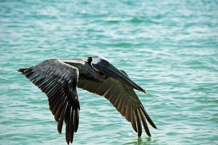 Pelican in Flight on Tiger Tail Beach, Marco Island, FL photo