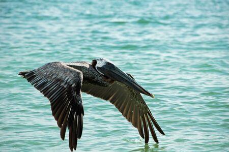 Pelican in Flight on Tiger Tail Beach, Marco Island, FL