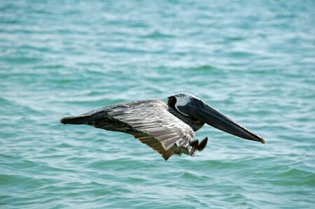 Profile of Pelican in Flight on Tiger Tail Beach, Marco Island, FL photo