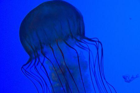 Blue Jellyfish Stock Photo - 2300257