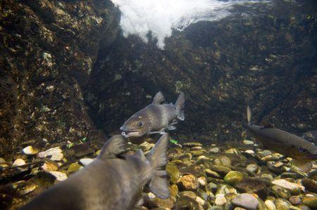 Wild Salmon Stock Photo - 2300264