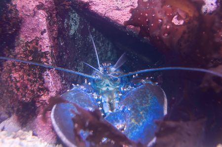 Rare Blue Lobster along the Maine Coast Stock Photo - 2300258