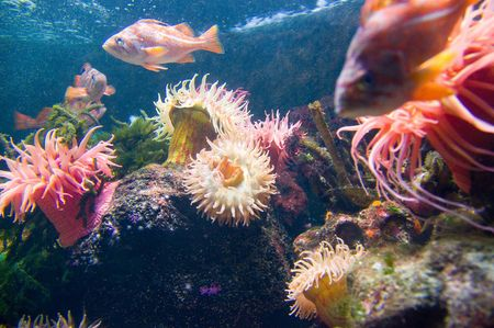 Brilliantly colored Sea Anemone and other coral life