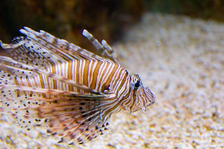 Venomous Lionfish