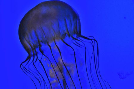 Jellyfish against blue water photo