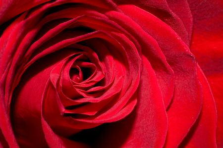 Red Rose #1 photo