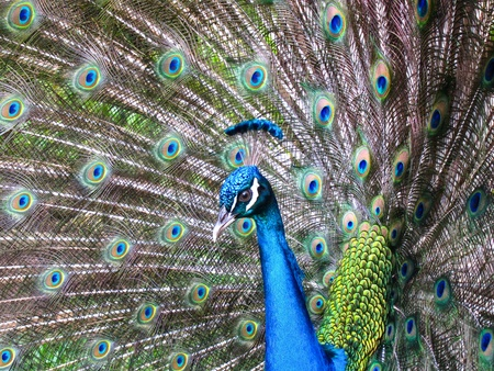 Colorful Peacock #4