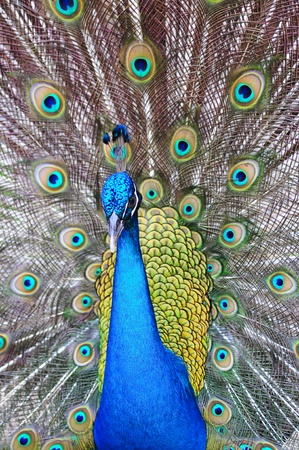 Colorful Peacock #5 Stock Photo