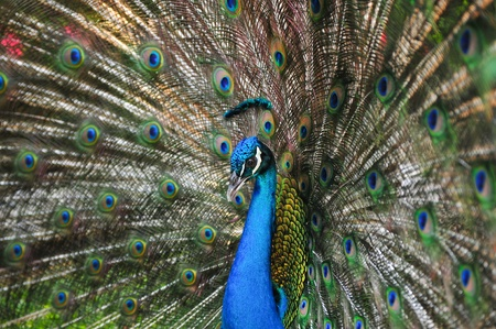 Colorful Peacock #8