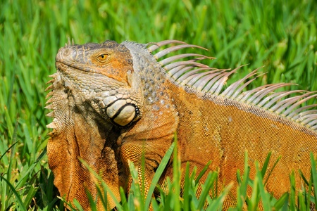 Lazy Iguana Stock Photo