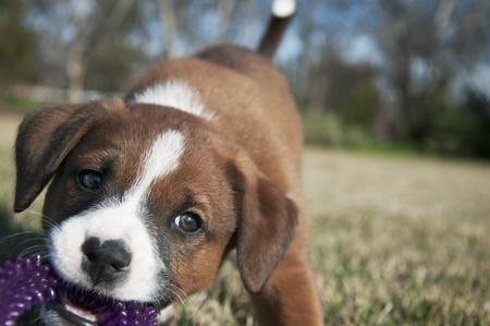 달콤한 갈색과 흰색 강아지는 잔디에 보라색 씹기 장난감을 가지고 노는