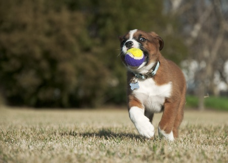 Sweet brown and white puppy running with a ball