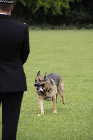 police dog: A police dog returns to its dog handler Editorial