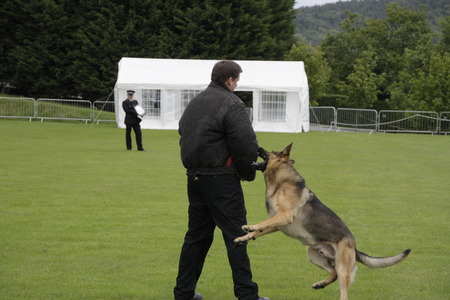 police dog: A police dog restrains a criminal at a police dog trial
