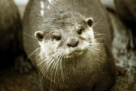 twitch: European Otter