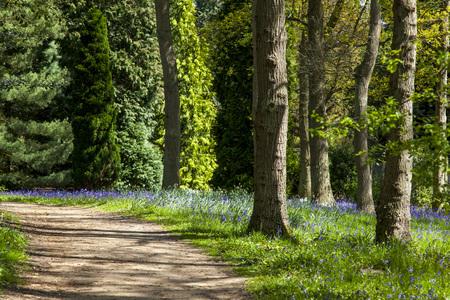 folliage: A path through a bluebell wood in England