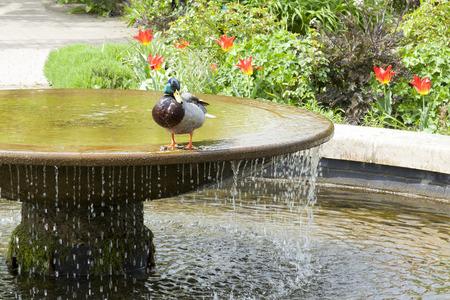 A small duck enjoying a fountain Stock Photo