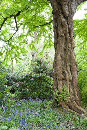 Beautiful Bluebells in Surrey, England