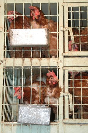 chicken cage: roosters in cages at a poultry shop in athens, greece