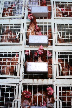 roosters in cages at a poultry shop in athens, greece