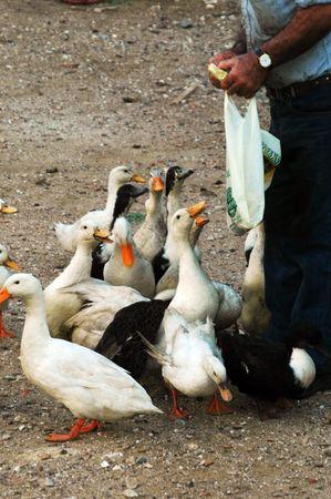 quack: quack, quack, feeding time for geeseducks in the greek islands