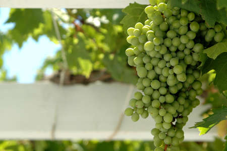green grapes in focus on the vine