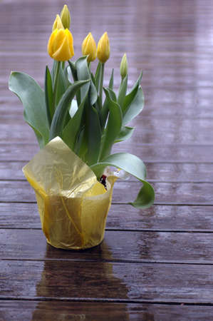 yellow tulips on wet deck with shallow depth of field photo