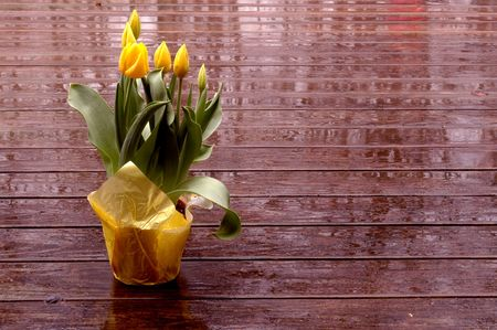 yellow tulips on wet deck in springtime photo