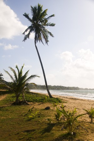 undeveloped: lone coconut tree on empty desolate undeveloped beach long bay big corn island nicaragua central americ