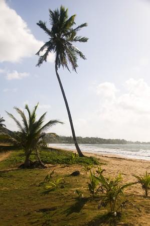 long bay: lone coconut tree on empty desolate undeveloped beach long bay big corn island nicaragua central americ