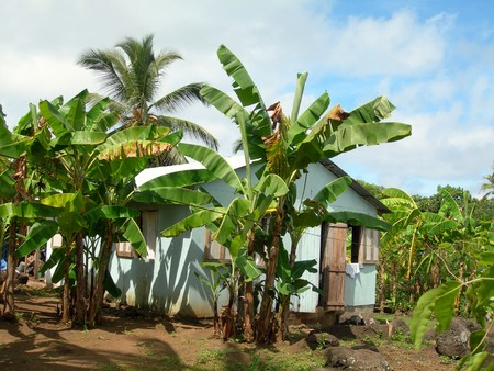 plantain: typical  house architecture banana plantain trees rural corn island nicaragua