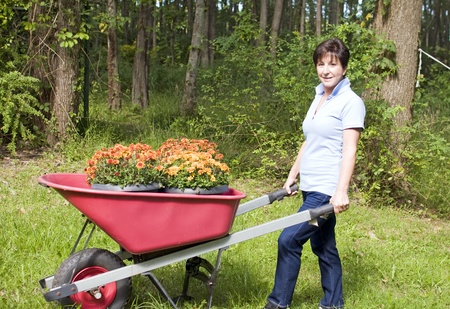 boomer: cute middle age senior woman suburban housewife gardening planting chrysanthemums mums in wheel barrow in backyard Stock Photo